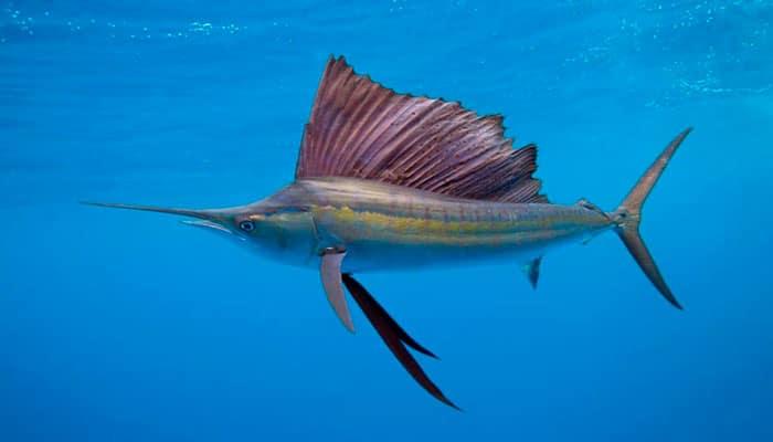 Sailfish in Isla Mujeres